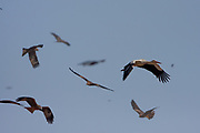 A flock of White stork (Ciconia ciconia) in flight on migration Photographed in Israel