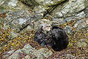 Northern sea otter in Alaska