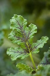 Pelargonium quercifolium - Oakleaf geranium