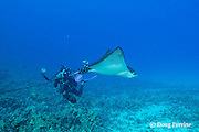 Tom Carey photographing spotted eagle ray, Aetobatus narinari, Honokohau, Kona, Big Island, Hawaii, USA ( Central Pacific Ocean ) MR 465