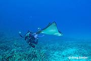 Tom Carey photographing spotted eagle ray, Aetobatus narinari, Honokohau, Kona, Big Island, Hawaii, USA ( Central Pacific Ocean ) MR 465