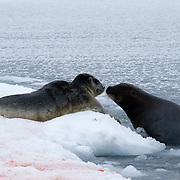 bearded seal (Erignathus barbatus) a mother and her new born pup on the edge of an open water lead on the Beaufort Sea, Alaska.