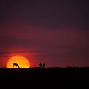 Thomson's Gazelle, (Gazella thomsonii)  Grazing on horizon, silhouetted at sunset. Serengeti Plains.Masai Mara Game Reserve. Kenya. Africa.