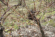 vine trunk during late fall in the Languedoc France