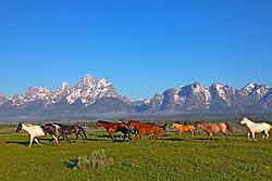Running Horses, Grand Tetons, Grand Teton National Park