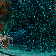 An invasive Lionfish (Pterois volitans) hunting baitfish in a cave off Eleuthera, Bahamas.