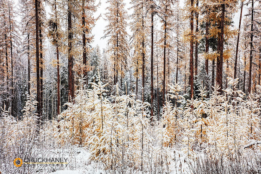 Fresh snowfall coats the autumn larch trees in the Flathead National Forest, Montana, USA