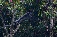 Phayre's leaf monkey or Phayres langur, Trachypithecus phayrei, jumping from a tree at He Xin Chang Forest reserve, Dehong Prefecture, Yunnan Province, China