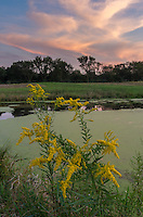 A blooming goldenrod sits at the edge of an algae-covered pond in Weinberg King State Park.