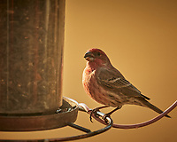 House Finch. Image taken with a Nikon D5 camera and 600 mm f/4 lens (ISO 560, 600 mm, f/4, 1/1250 sec).