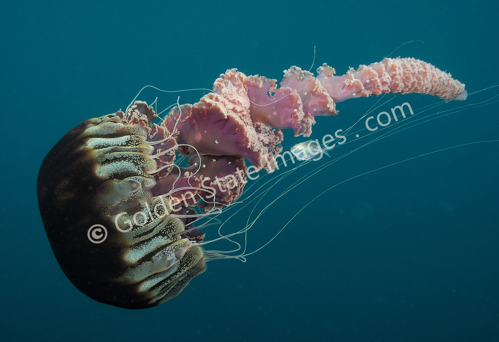 In addition to the commensal butterfish, this photo also reveals small crabs, which have hitched a ride on this jellyfish.  <br /> <br /> A very large jellyfish species, its bell can measure over three feet across and its ribbon like oral arms can trail behind over twenty feet in length.    <br /> <br /> These jellyfish are rarely seen but can occur in large swarms off Southern California such as occurred in 1989 and 1999.    <br /> <br /> Range: Undetermined - Believed to be Monterey California to Baja Coast.    <br /> <br /> Species: Chrysaora achlyos<br /> <br /> Butterfish Species: Peprilus triacanthus