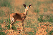 Steenbok {Raphicerus campestris} young male, Kgalagadi Transfrontier NP, South Africa