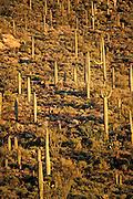 Typical Sonoran Desert Canyon with Mule Deer near Tucson Arizona USA
