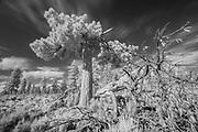 Lightning damaged ponderosa pine (Pinus ponderosa) in Central Oregon. ©Michael Durham.