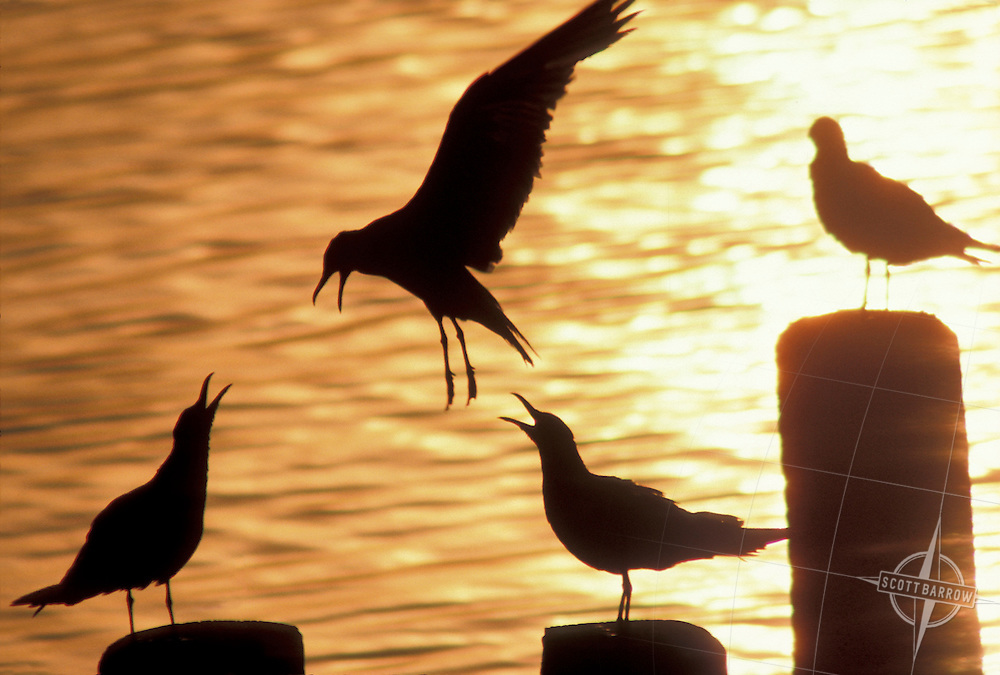 Silhouette of  sea gulls at sunset.