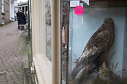 Sold stuffed Golden Eagle in an antique shop in Hay-on-Wye, Wales, United Kingdom.