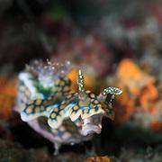 Ceratosoma sinuatum nudibranch with one rhinophore flopped over. Ambon, Indonesia