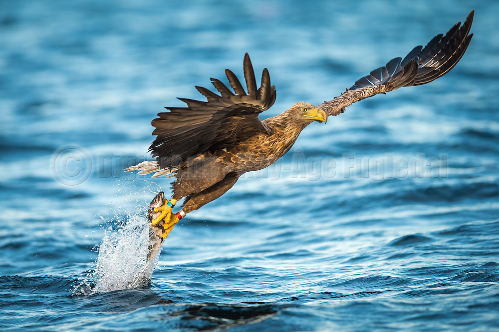 White-tailed eagle diving for a fish and gets a great catch. Taken in early morning light | Havørn stuper etter en fisk og får en fin fangst.  Tatt i mykt morgenlys.