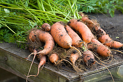 Harvested bunch of carrots