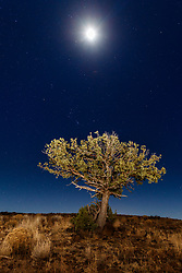 Lone tree and moon on starry night, Ladder Ranch, west of Truth or Consequences, New Mexico, USA.