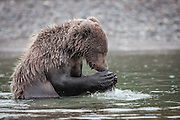 Dear Lord, please find me a big fat salmon for dinner. Coastal Brown Bear, Lake Clark, Alaska