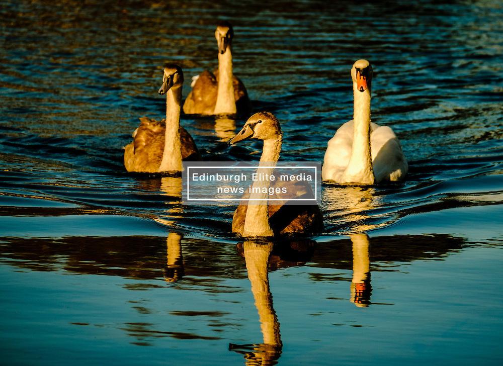 Adult swan and cygnets<br /> <br /> (c) Andrew Wilson | Edinburgh Elite media