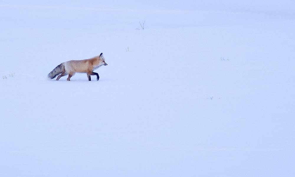 Fox patrolling in Hayden Valley, Yellowstone NP