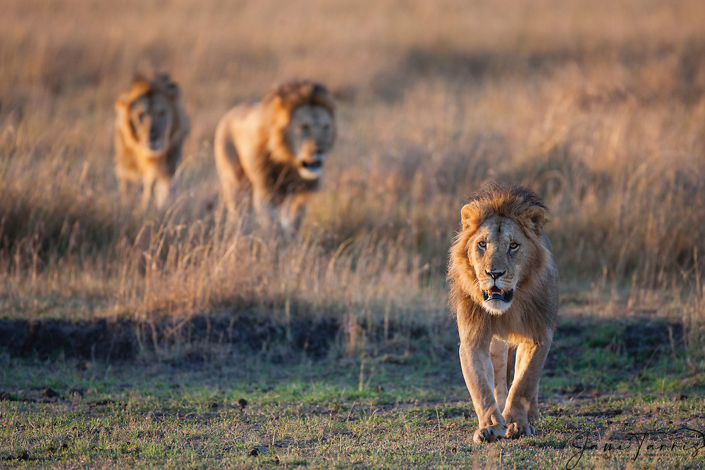 A coalition of three large male lion siblings (Panthera Leo) walking their territory in the morning on the Masai Mara; males may form a coalition of two to six, and hold tenure over the prides until challenged. Large males may exceed 250kg ( 550 lbs) in weight and are the second-largest living cat after the tiger,Masai Mara, Kenya,Africa