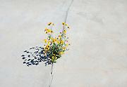Daisies grow through crack in concrete slab<br />