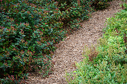 Straw mulched paths  dividing lines of plants in the cutting garden at Chatsworth. Hypericum inodorum Magical Series