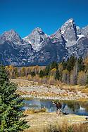 Bull moose, Shwabacker Landing, Snake River, Grand Tetons, Grand Teton National Park