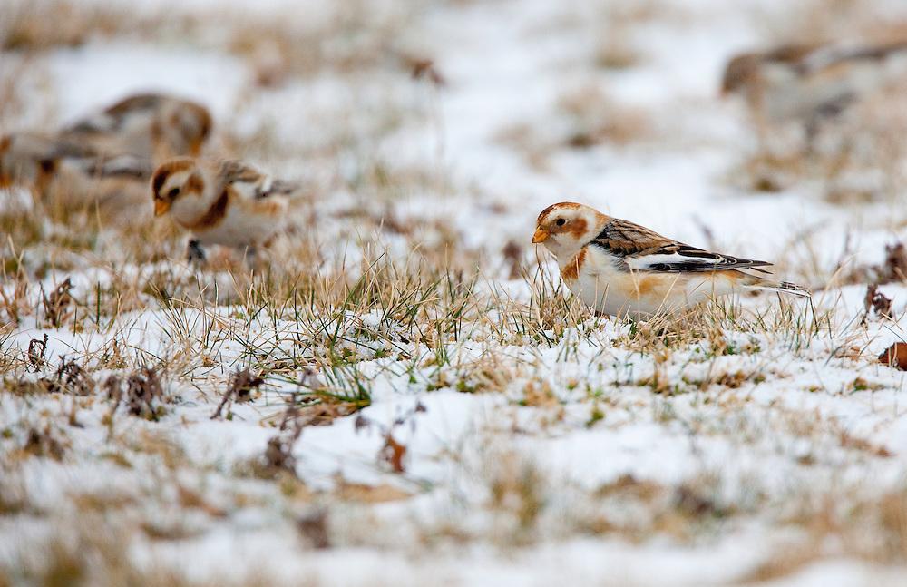 Snow bunting feeding in an open field in Port Monmouth NJ.