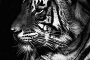 Black and white close-up profile of wild Bengal tiger, Ranthambore National Park, Rajasthan, India