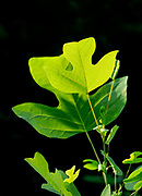 Love the simplicity of beautiful backlight on this young Tulip Poplar