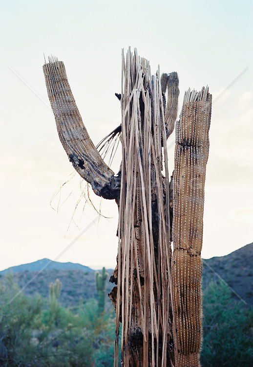 Dead Cactus tree in Arizona