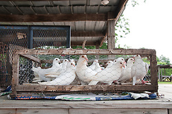 White Piegons Caged At A Flea Market