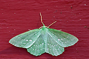 Large green moth: Emerald Geometra Papilionaria at rest on a red wall with wings open showing markings Smaland region. Sweden, Europe.
