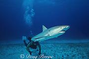 a Caribbean reef shark, Carcharhinus perezi is released after tagging, during University of Miami/ NSF shark research, at Bimini Biological Field Station, aka SharkLab, Bimini, Bahamas ( Western Atlantic Ocean )