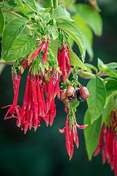 Fuchsia boliviana - Bolivian fuchsia
