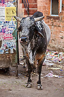 Image of a cow on a street in India, Exotic animals and places.