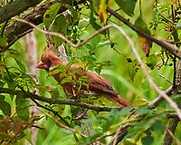 Northern Cardinal (Cardinalis cardinalis). Sourland Mountain Preserve. Image taken with a Nikon D300 camera and 18-200 mm VR lens.