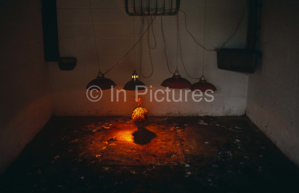 An ostrich chick stands alone in a private pen, beneath a heat lamp at the ostrich farm belonging to Robert and Nina Bailey near Chepstow, Wales. The reddish glow from the heat source concentrates life-giving energy into the young bird, helping it survive the first three months after hatching. Rearing these birds is a specialist and very expensive business but Ostrich meat is a South African delicacy, used for Biltong. Nutritionists promote it as a more healthy alternative because it is higher in protein and lower in fat and cholesterol. An ostrich lays an egg every other day, of which 40 to 80% are fertile. In the wild there is a 95% failure rate but using an incubator like this almost guarantees total success. Its latin name, 'Struthio camelus', is the largest of living birds with some males reaching a height of 8 ft (244 cm) and weighing 200 to 300 lb (90-135 kg). In the wild, the polygamous male has from two to six females in his flock. The cock scoops out a hollow for the eggs, which weigh nearly 3 lb (1.35 kg) each. One of the females incubates the eggs during the day, and the cock takes over at night. On the savannah they can run at 40mph (64 kph) for 10 hours though their top speed can reach 80mph. During the 19th-century vogue for ostrich plumes, farms were established in South Africa and later in North America, Australia, and Europe; after World War I fashions changed and the industry collapsed.