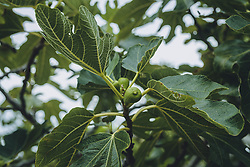 THEMENBILD - grüne Früchte an einem Feigenbaum (Ficus carica), aufgenommen am 03. Juli 2020 in Novigrad, Kroatien // green fruit on a fig tree, in Novigrad, Croatia on 2020/07/03. EXPA Pictures © 2020, PhotoCredit: EXPA/ Stefanie Oberhauser