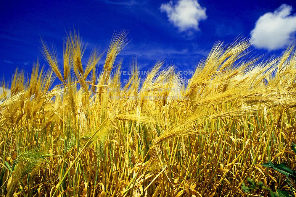 Image of a wheatfield, Waitsburg, Palouse, eastern Washington, Pacific Northwest by Randy Wells