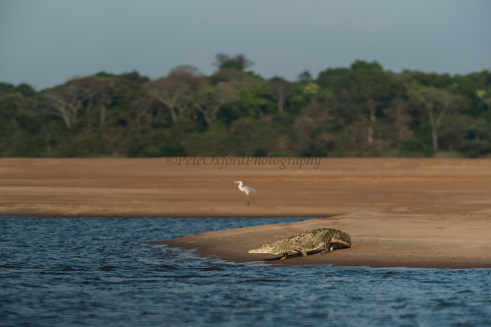 Orinoco Crocodile (Crocodylus intermedius) Orinoco River, Apure Province. VENEZUELA South America<br /> CITIES 1 ENDANGERED SPECIES and almost extinct in the wild after being hunted for their skins.<br /> Males reach 6m & Females 3.5m.