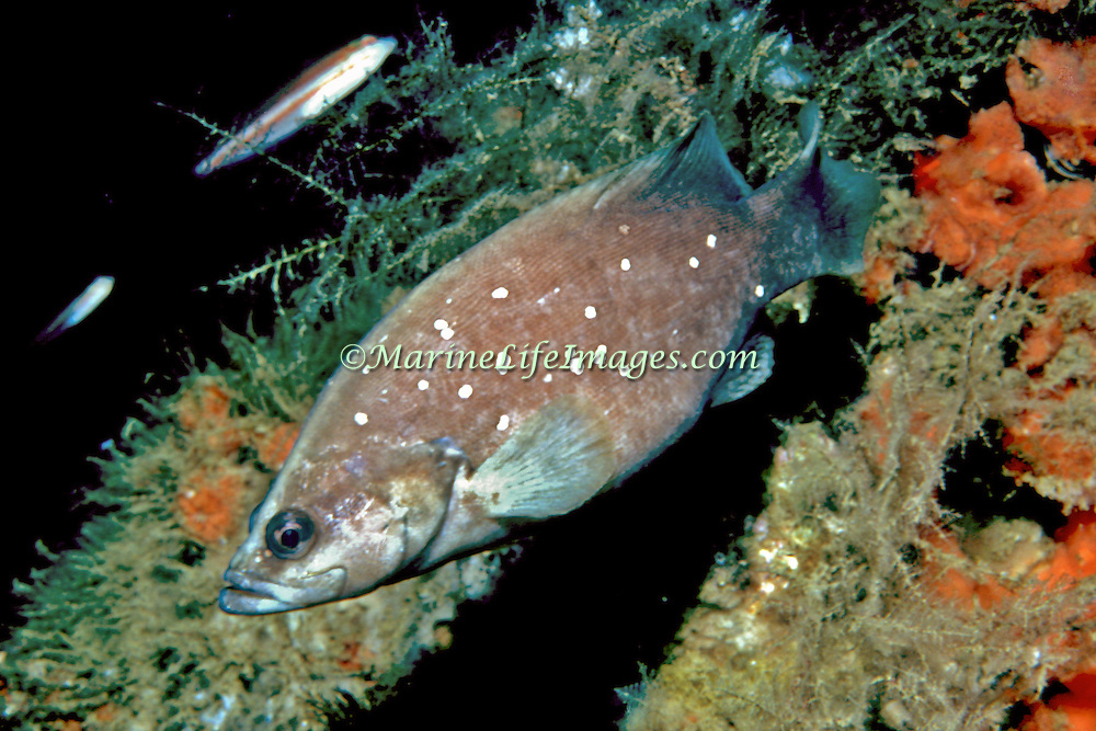 Whitespotted Soapfish usually resting on sand in shallow recesses Palm Beach, FL and Gulf Coast to Rhode Island (not reported So. Florida, Bahamas or Caribbean); picture taken Palm Beach , FL