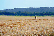 Nederland, Ubbergen, 6-8-2008Akkerbouwer Theo Peters loopt over zijn akker en proeft zijn tarwe om te bepalen of het rijp is om te oogsten. Tarwekorrels,graankorrels.Foto: Flip Franssen/Hollandse Hoogte