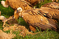 Euracian Griffon Vulture (Gyps fulvus) feeding , Native birds of Cres Island, Beli, Cres Island, Croatia .<br /> <br /> Visit our CROATIA HISTORIC SITES PHOTO COLLECTIONS for more photos to download or buy as wall art prints https://funkystock.photoshelter.com/gallery-collection/Pictures-Images-of-Croatia-Photos-of-Croatian-Historic-Landmark-Sites/C0000cY_V8uDo_ls
