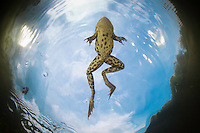 """Pool Frog (Pelophylax lessonae) from underwater around Crisan village, Danube Delta, Romania. A pool frog is very similar in appearance to the closely related edible frog and marsh frog. These three species are often referred to as """"green frogs""""."""
