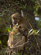 Young baboon in  Kruger NP, South Africa